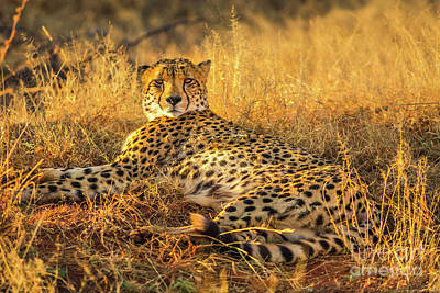 Photograph - Cheetah Lying In Africa by Benny Marty