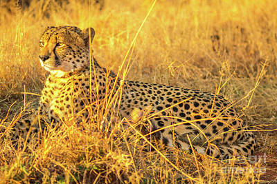Photograph - Cheetah Lying In Savannah by Benny Marty