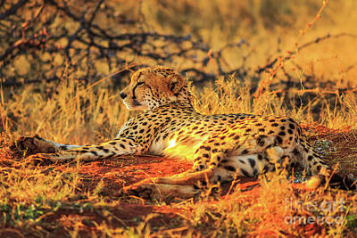 Photograph - Cheetah Lying Red Desert by Benny Marty