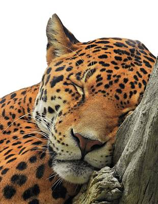 Animals Royalty-Free and Rights-Managed Images - Cheetah Napping by Jennifer Wheatley Wolf