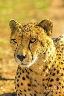 Photograph - Cheetah Resting Outdoor by Benny Marty