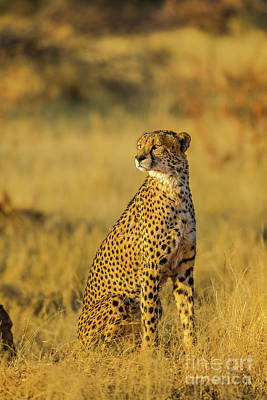 Photograph - Cheetah Standing In Africa by Benny Marty