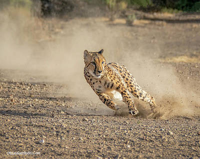 Photograph - Cheetah Top Speed by LeeAnn McLaneGoetz McLaneGoetzStudioLLCcom