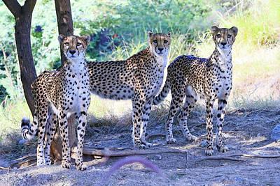 Fleetwood Mac - Cheetah Triplets  by Shoal Hollingsworth