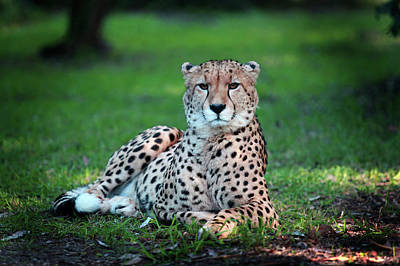Photograph - Cheetah by Images Unlimited