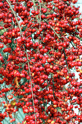 Photograph - Cherries In New Hope by John Rizzuto