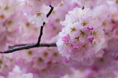 Photograph - Cherry Blossom 8624 by Mark Shoolery