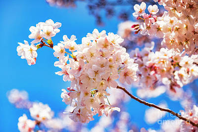 Royalty-Free and Rights-Managed Images - Cherry Blossom against a Bright Blue Sky by Colin and Linda McKie