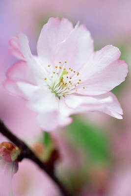 Photograph - Cherry Blossom by Frank Krahmer