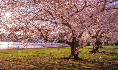 Photograph - Cherry Blossom Trees by Rima Biswas