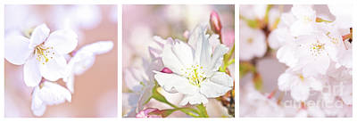 Cherry Flowers Photograph - Cherry Blossom Triptych by Delphimages Photo Creations