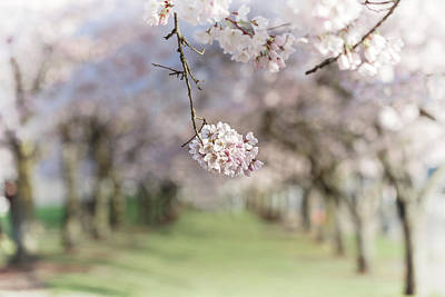 Photograph - Cherry Blossom Tunnel by Wes and Dotty Weber