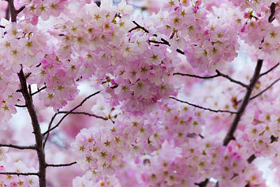 Photograph - Cherry Blossoms 8625 by Mark Shoolery