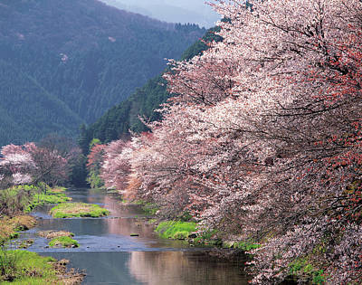Photograph - Cherry Blossoms And Takano River by Daj