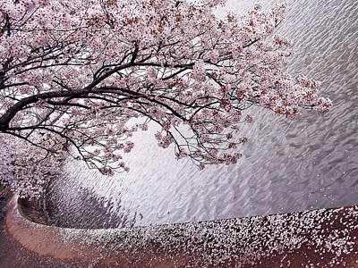 Olympic Sports - Cherry Blossoms by Cora Wandel