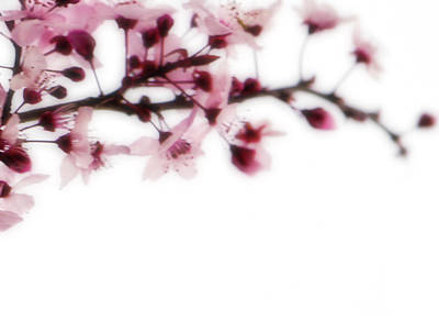 Photograph - Cherry Triptych Right Panel by Mark Shoolery