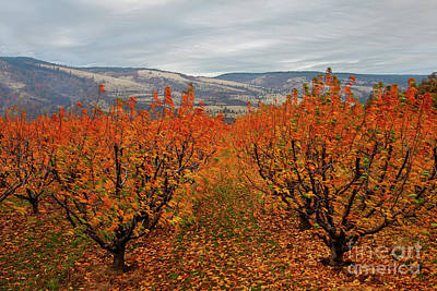 Photograph - Cherry Orchard Autumn by Mike Dawson