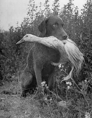 Photograph - Chesapeake Bay Retriever Trigger Holding by Loomis Dean