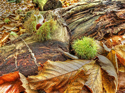 Photograph - Chestnut Seed Pods On The Forest Floor 2 by Gill Billington