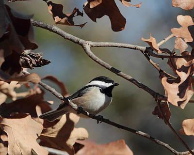 Photograph - Chickadee 4431 by John Moyer