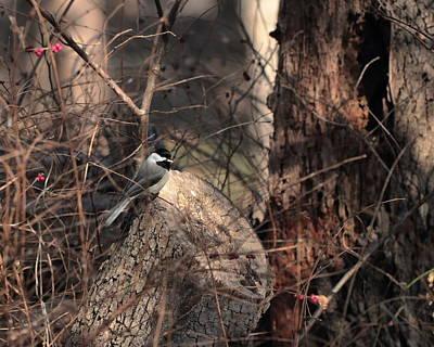 Photograph - Chickadee 5269 by John Moyer