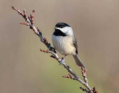 Photograph - Chickadee Hint Of Spring by Lara Ellis