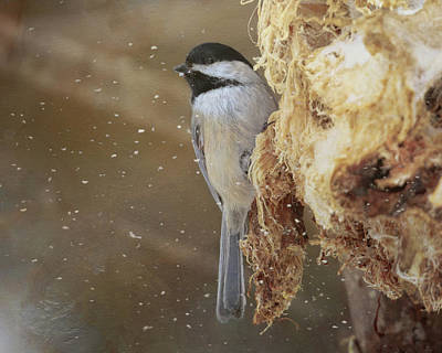 Photograph - Chickadee In Winter by Susan Rissi Tregoning