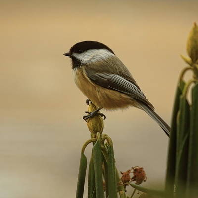Photograph - Chickadee On Rhododendron by Dale Kauzlaric