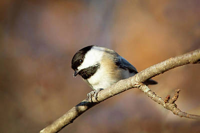 Art Print featuring the photograph Chickadee by Sue Collura