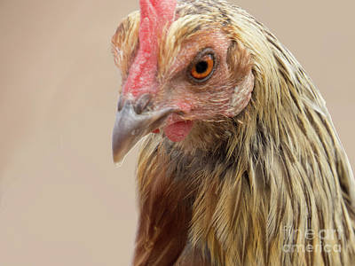Target Threshold Nature - Chicken Face 4 by Christy Garavetto