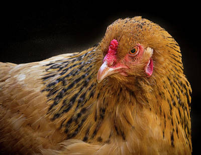 Photograph - Chicken Portrait by Jean Noren