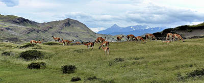 Photograph - Chile - Patagonia - Guanaco Grazing by Jeremy Hall