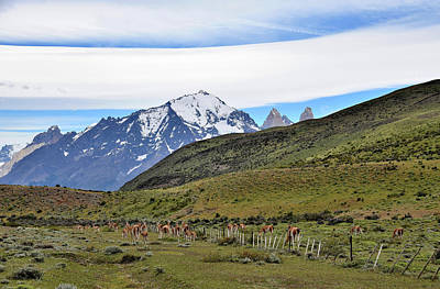 Photograph - Chile - Patagonia - Guanaco Herd And Torres Del Paine Mountains by Jeremy Hall