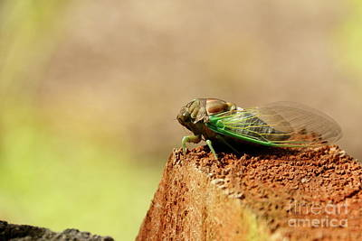 Photograph - Chillin' Cicada by P W