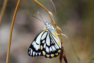 Insect Photograph - Chiltern Forest Butterfly by Dirkwallace.com