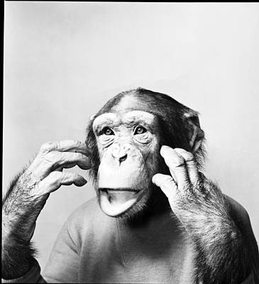 Photograph - Chimp In T-shirt by Bert Hardy Advertising Archive