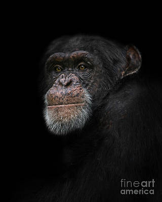 World Forgotten - Chimpanzee Portrait by Rawshutterbug