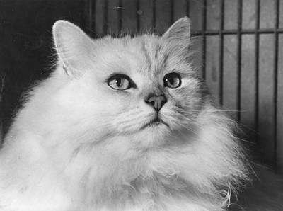 Chinchilla Cat Art Print by Folb