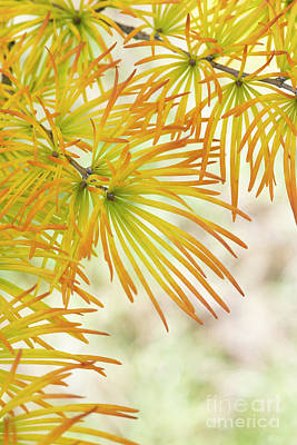 Photograph - Chinese Golden Larch Tree Needles by Tim Gainey