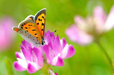 Insect Photograph - Chinese Milk Vetch With  Butterfly by Myu-myu