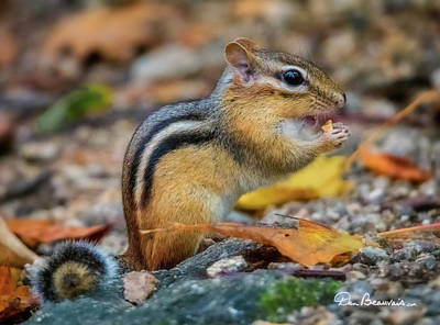 Dan Beauvais Royalty-Free and Rights-Managed Images - Chipmunk 9235 by Dan Beauvais