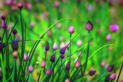 Photograph - Chive Buds  by Dee Browning