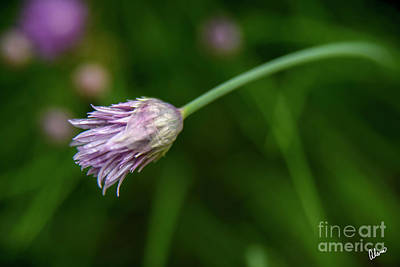 Photograph - Chive Opening by Alana Ranney