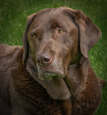 Photograph - Chocolate Lab Portrait by Jean Noren