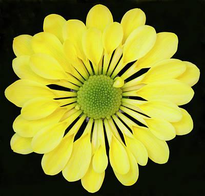 Chrysanthemum Art Print by Andrew Dernie