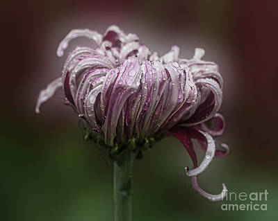 Photograph - Chrysanthemum 'lily Gallon' by Ann Jacobson