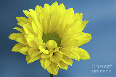 Royalty-Free and Rights-Managed Images - Chrysanthemum Morifolium by John Edwards
