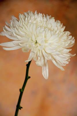 Photograph - Chrysanthemum On Canvas by Jennifer Wick