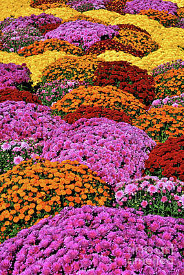 Royalty-Free and Rights-Managed Images - Chrysanthemum Rainbow of Colors by Regina Geoghan