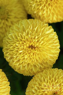 Photograph - Chrysanthemums by Blake Richards